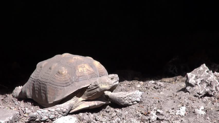 A Spur-thighed Tortoise, a Threatened species.