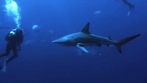 shark between scuba divers close