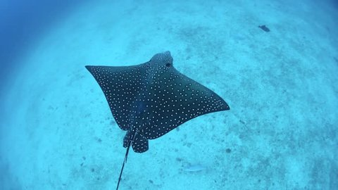 Spotted eagle rays cruise over a sandy bottom near Cocos Island, Costa Rica.