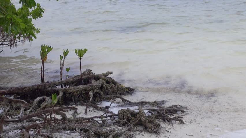 Young mangroves with a tenacious hold on the beach