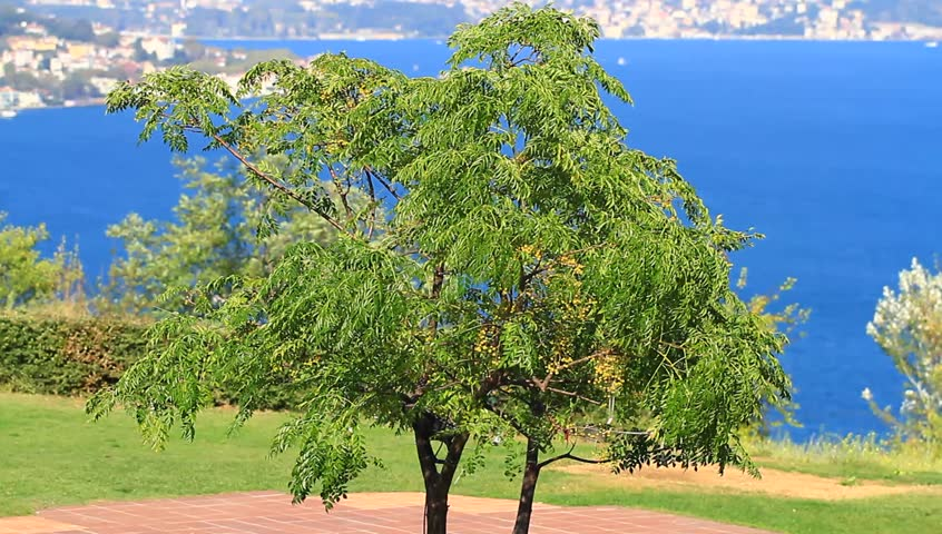 Bosporus hills with a willow tree sapling. Pan video