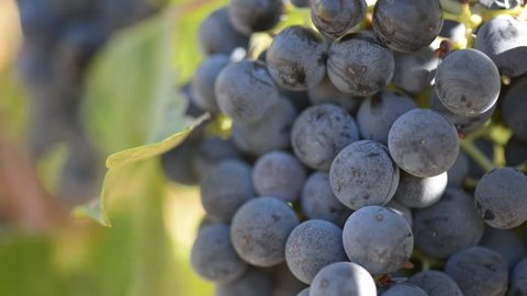Grapes on the Vine Close Up
