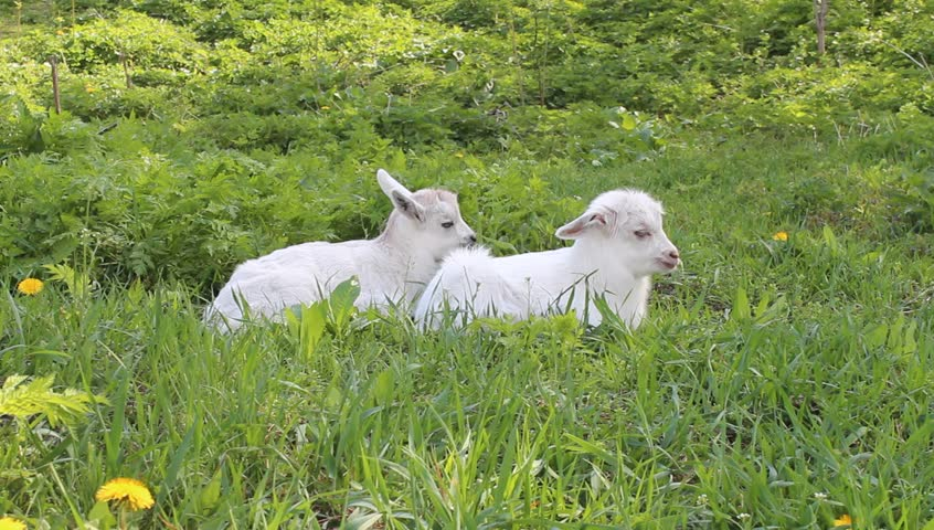 two baby goats relaxing in the green grass