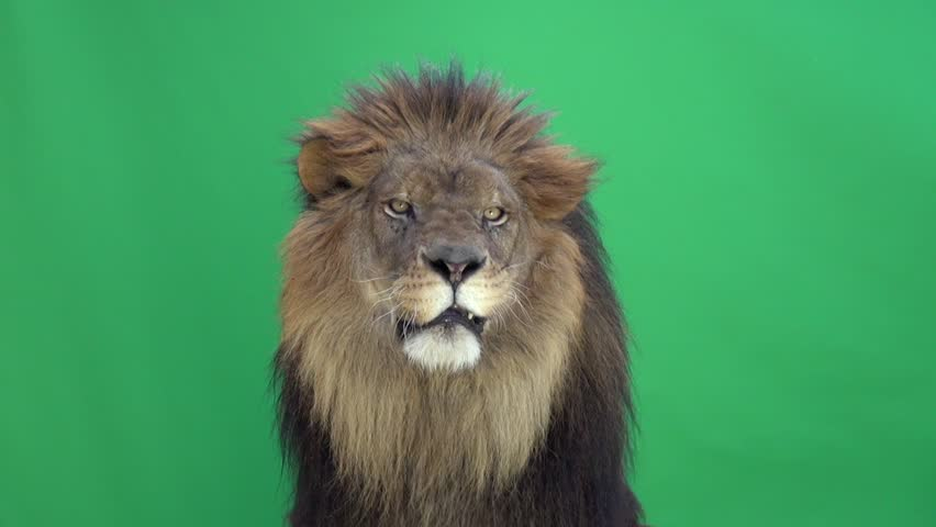 Lion looking around and at the camera in front of a green key #3811658