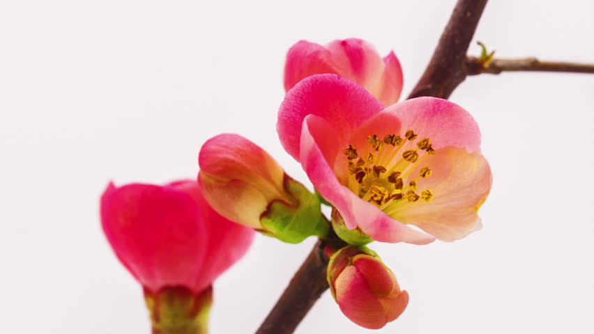 HD macro time lapse video of a Japanese crab-apple tree flower growing and blooming on a white background/Japanese crabapple blossoming macro timelapse
