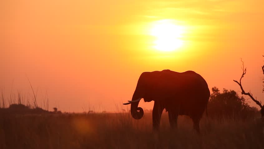 A silhouetted elephant eating at sunset | Shutterstock HD Video #3842738