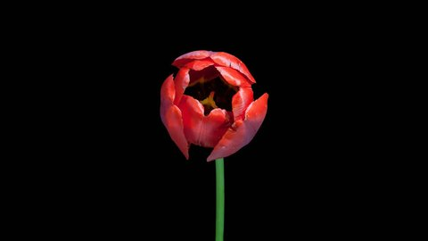 Timelapse of red tulip flower blooming on black background in PNG format with alpha transparency channel