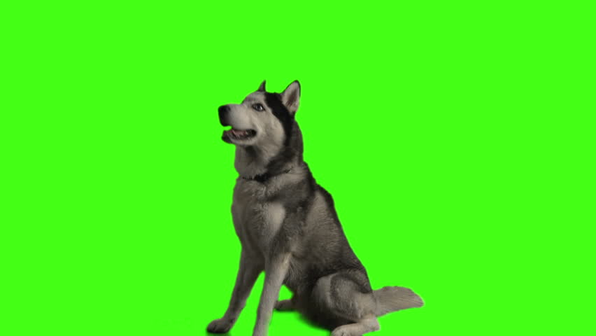Husky dog on green screen
