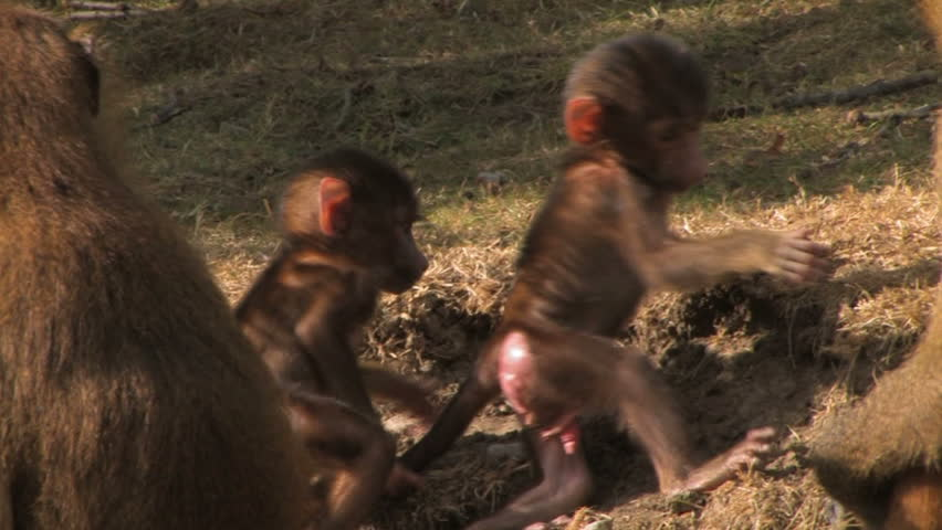Monkey Business! A CUTE pair of baby Guinea baboons play together