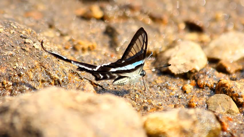 Black and white butterfly on the ground.