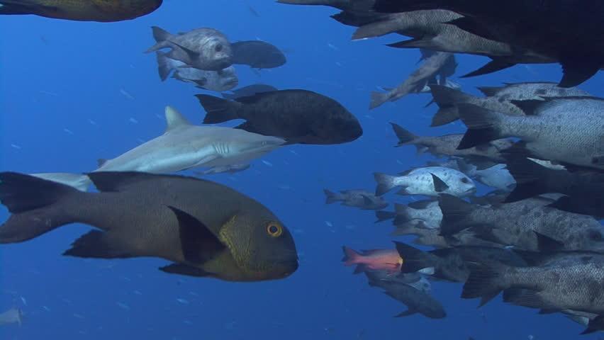 Gray Reef Shark swims amongst tropical fish | Shutterstock HD Video #3966688