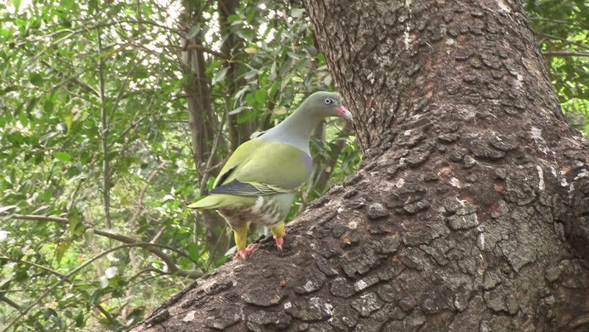 Header of African green pigeon
