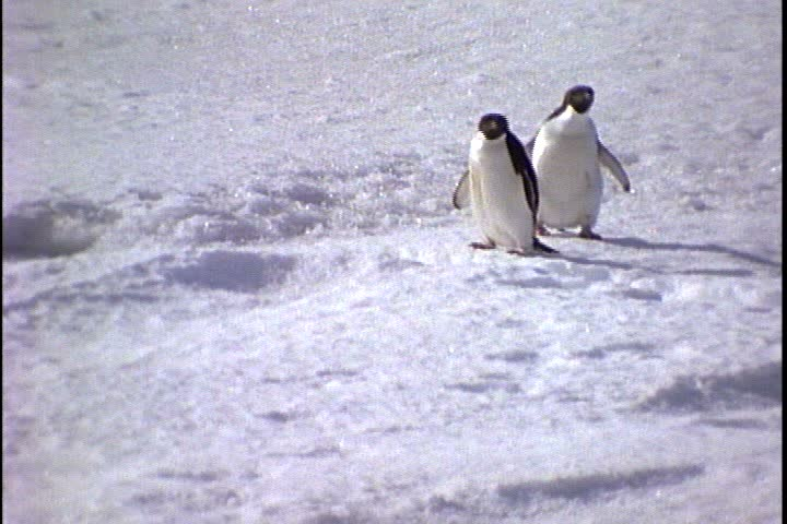 MS two Adelie penguins waddling and running on snow in Antarctica. One falls.