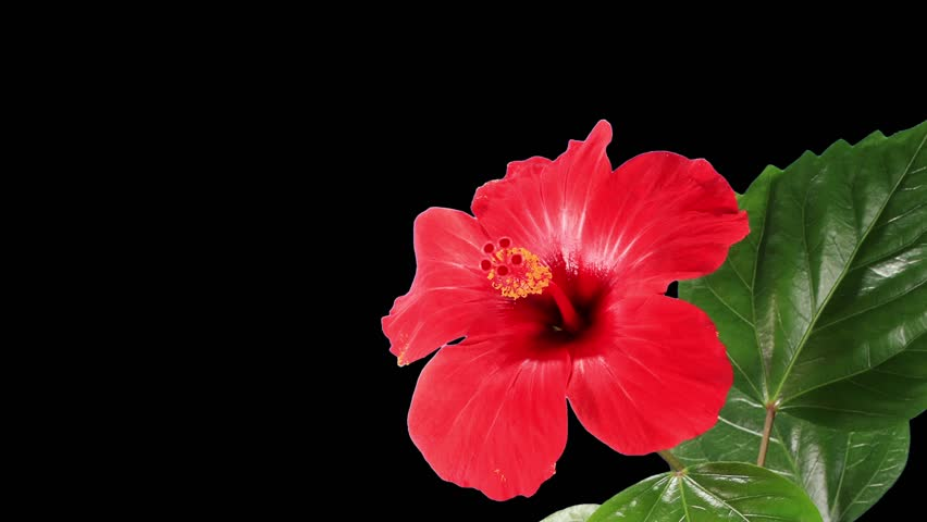 Blooming red Hibiscus flower buds ALPHA matte (Hibiscus rosa-sinensis L.) (Time Lapse)