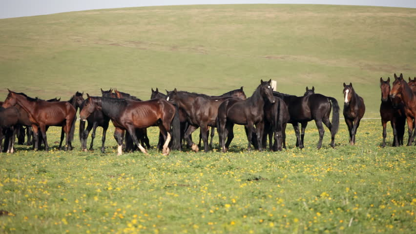 Herd of horses on a summer green pasture | Shutterstock HD Video #4044841