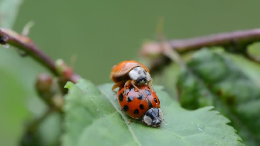Ladybugs mating on leaves in the garden