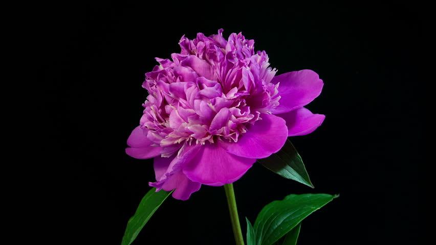 Timelapse Of Pink Peony Flower Blooming On Black ...