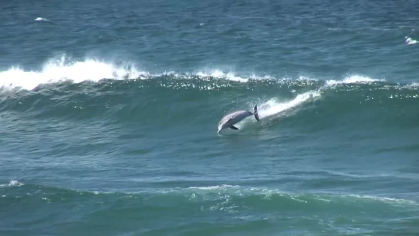 A dolphin jumps out of a wave in Sydney Australia | Shutterstock HD Video #4086178