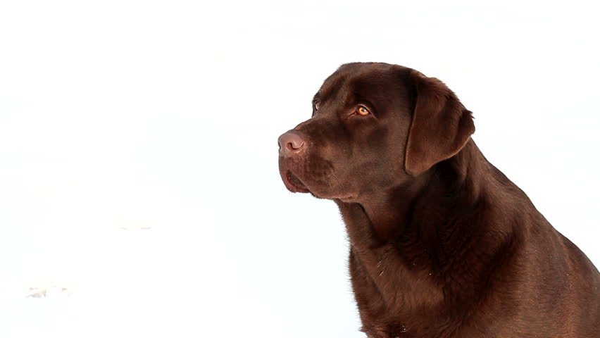 barking chocolate Labrador isolated on a white background