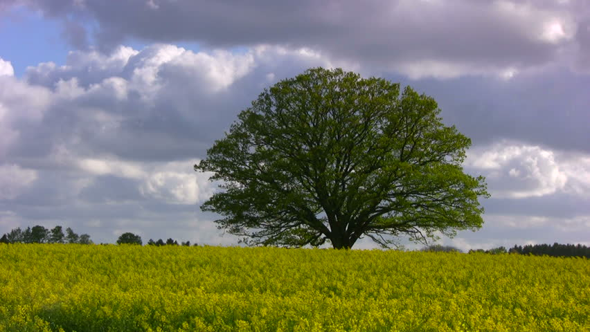 Big, old oak tree on a blooming rape field against violent spring clouds on a stormy afternoon.