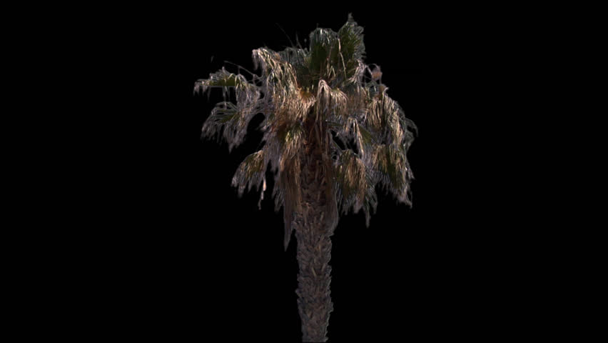 Isolate palm tree with alpha matte | Shutterstock HD Video #4115989