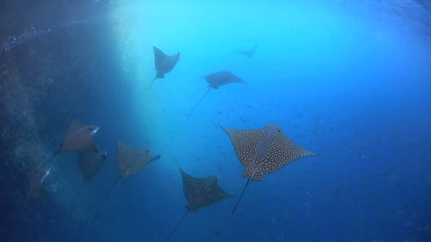 Spotted eagle rays and large school of fish underwater in the Galapagos Islands