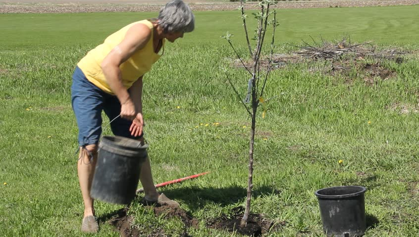 woman planting an apple tree in her yard