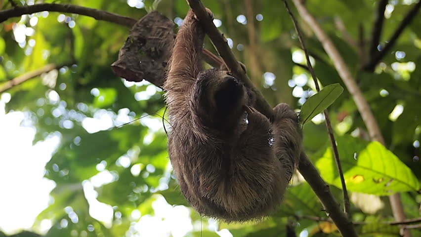 Young Three-toed sloth scratching itself, hanging from branch in the jungle, Central America, Panama