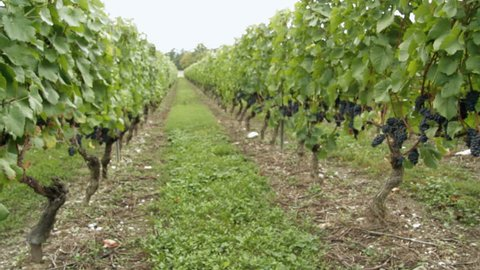 Grape Vines Protected By Overhead Stock Footage Video (100