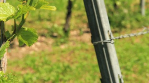 Tracking shot in vineyard. Find similar clips in our portfolio.