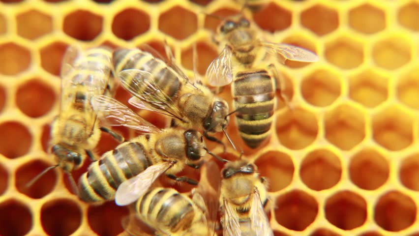 Bees on the honeycomb. 1
