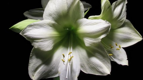 Time lapse of white Amaryllis(Amaryllis sp.) flowers blooming. Close-up.