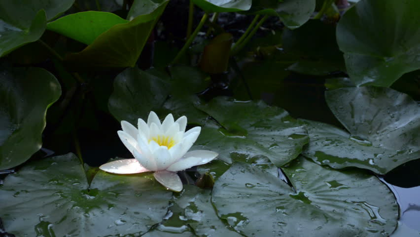 White Water Lily Flower With Stock Footage Video 100 Royalty Free
