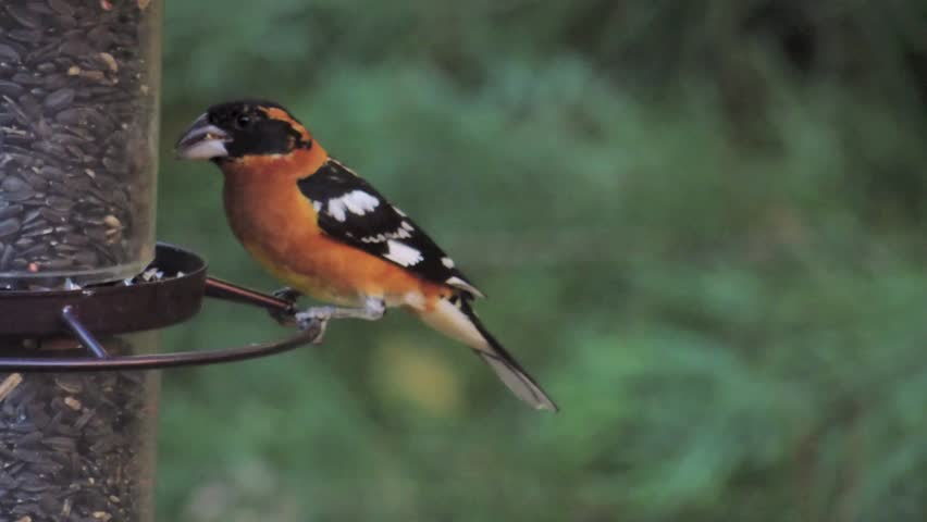 Black-headed grosbeak male (Pheucticus melanocephalus) feeding at a backyard  feeder. Grosbeaks are large finches who are spring and summer migratory ... - Black-headed Grosbeak Male (pheucticus Melanocephalus) Stock Footage