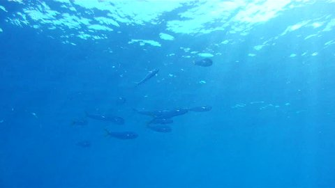 Dolphin School Underwater: 1080 HD footage of saltwater game fish Mahi Mahi, a.k.a. Dolphin or Dorado, free swimming in the clear blue water of the Atlantic Ocean off the Florida Coastline.