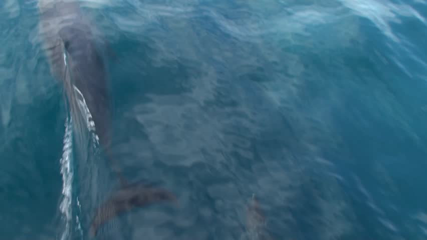 Spinner dolphins up close and bow riding fast