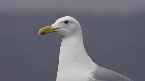 Close shot of a wary seagull