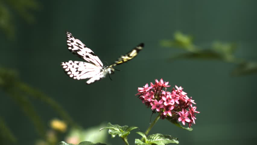 A big black and white butterfly hovers into focus and lands on a cluster of pink flowers