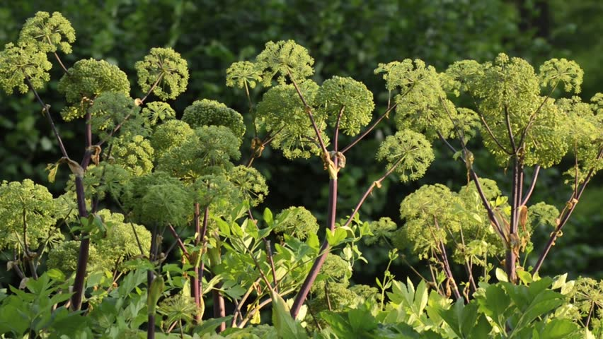 Image result for angelica archangelica