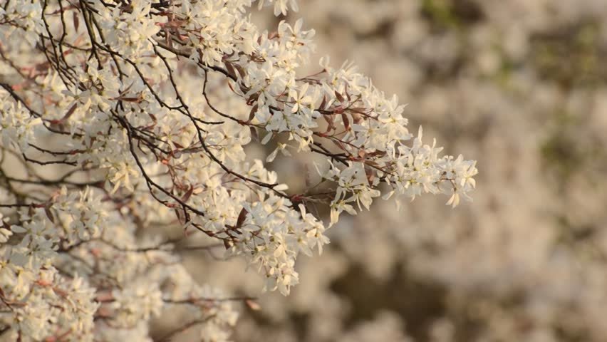 Header of Amelanchier arborea