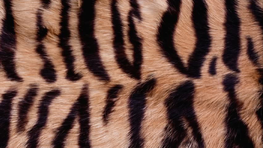 Fur background | Shutterstock HD Video #4399238