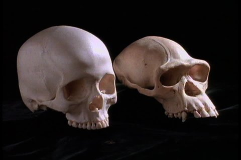 Skulls of Australopithecus afarensis, or Lucy, and homo sapien side by side against black background.