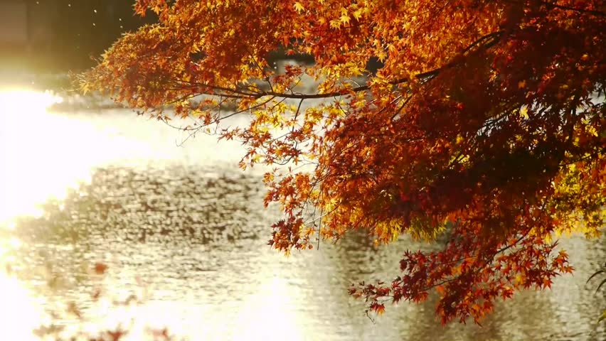 Japanese Maple over Pond in Autumn in Japan