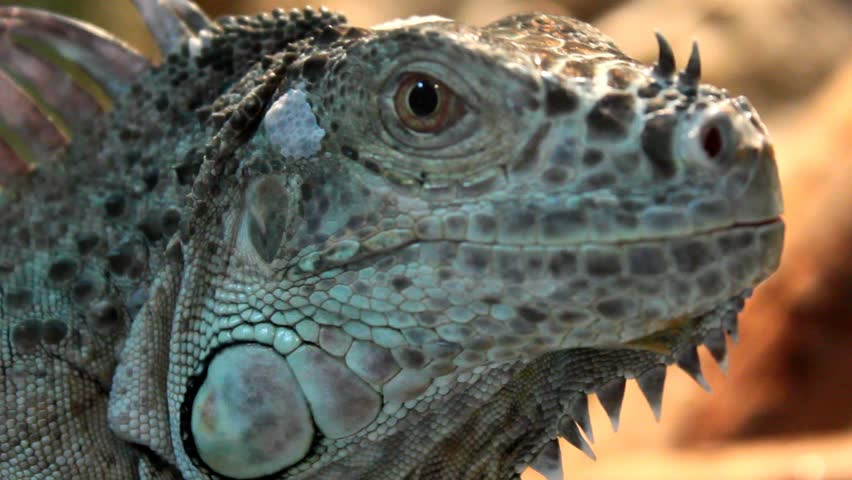 Looking Iguana - close up