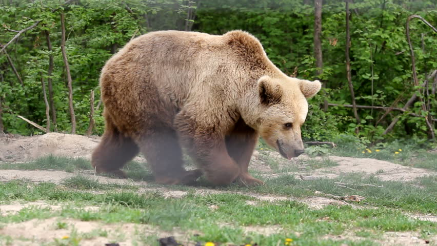 Brown bear captivate stepping in zoo park