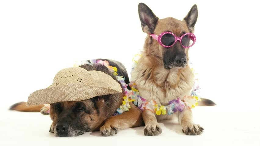 Pet, animal and behavior, two funny purebred alsatian dogs with hat and sunglasses. Studio shot, white background. Part 7 of 14 | Shutterstock HD Video #4571015