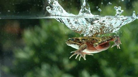 Frog splashing into water, slow motion