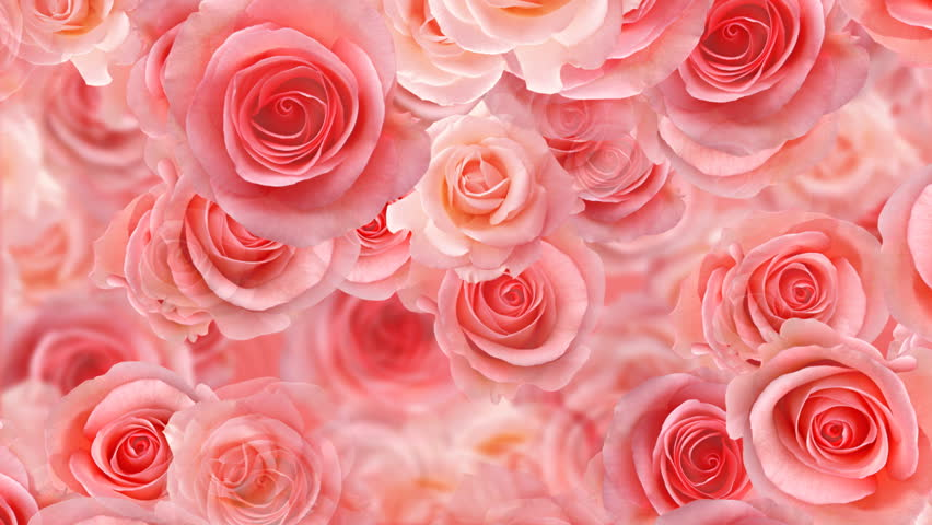 Rose flower backgrounds stock footage video 100 royalty - Red rose flower hd images ...