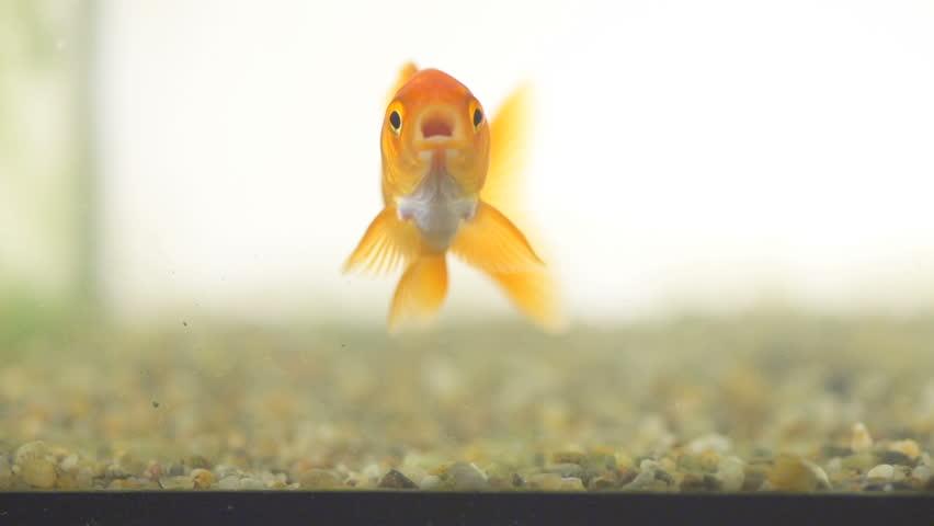 Slow Motion Shot Of A Goldfish Swimming Isolated On White