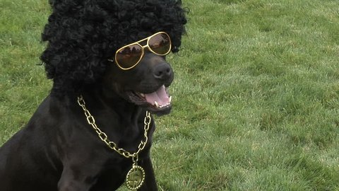 Dog in an afro wig and glasses